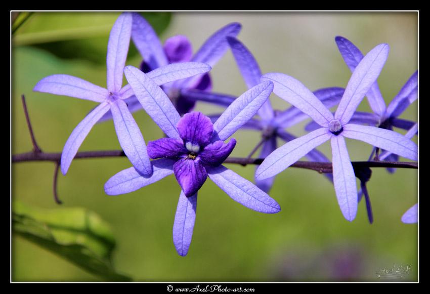 Fleur de liane saint jean petrea volubilis nature et for 815 plante st jean