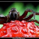 araignee fraise des bois
