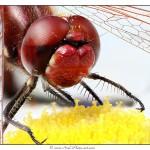 Libellule rouge - Tirage 45x30 - Encadrement 60x40