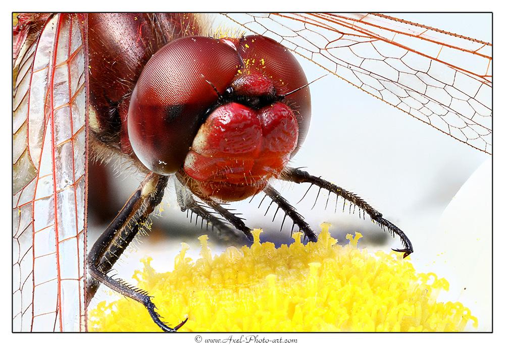 Libellule rouge : Sympétrum rouge sang