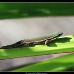 Gecko diurne - Tirage 45x30 - Cadre 60x40