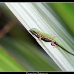 Gecko diurne orné de l'île Maurice