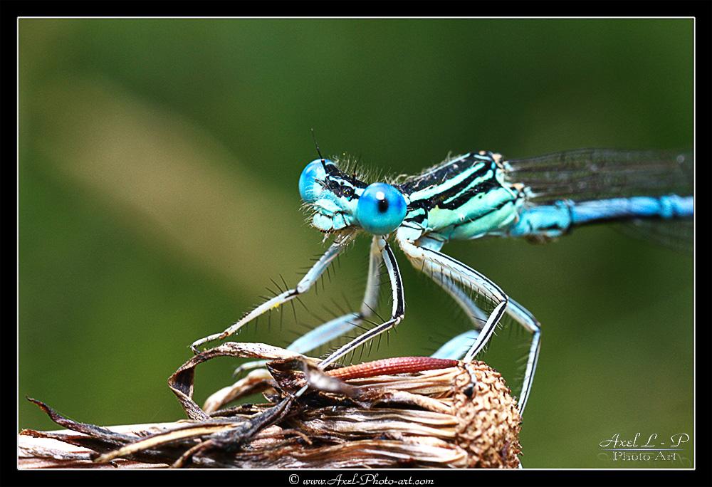 Libellule bleue : Agrion de Mercure