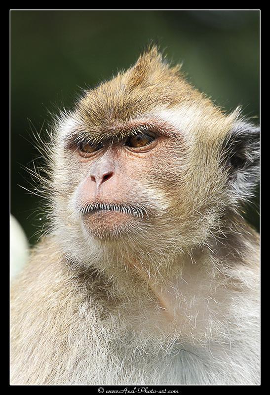 Macaque Crabier de l'Ile Maurice