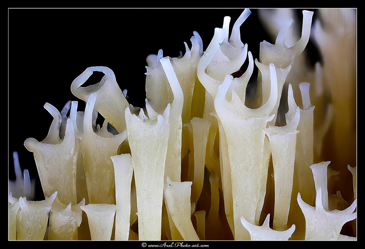 Champignon corail : Clavaire couronnée