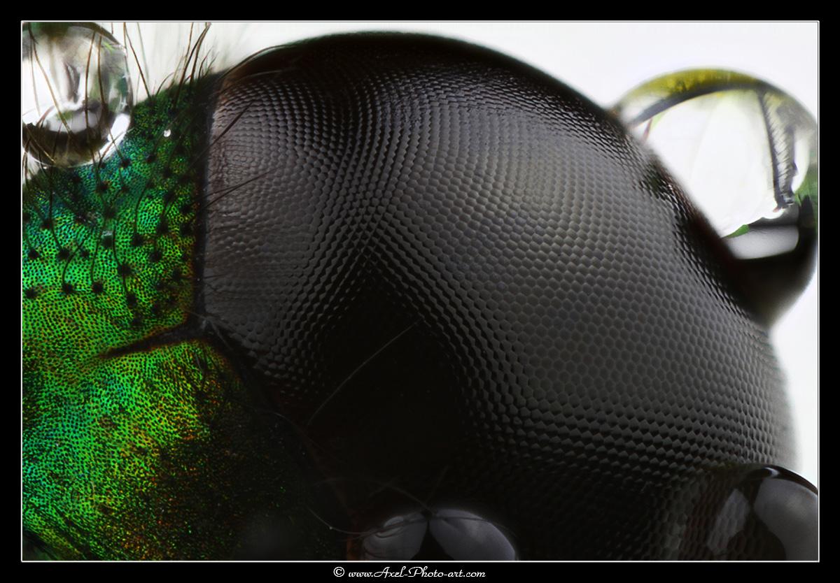 Œil de libellule