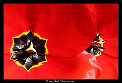 tulipe-410