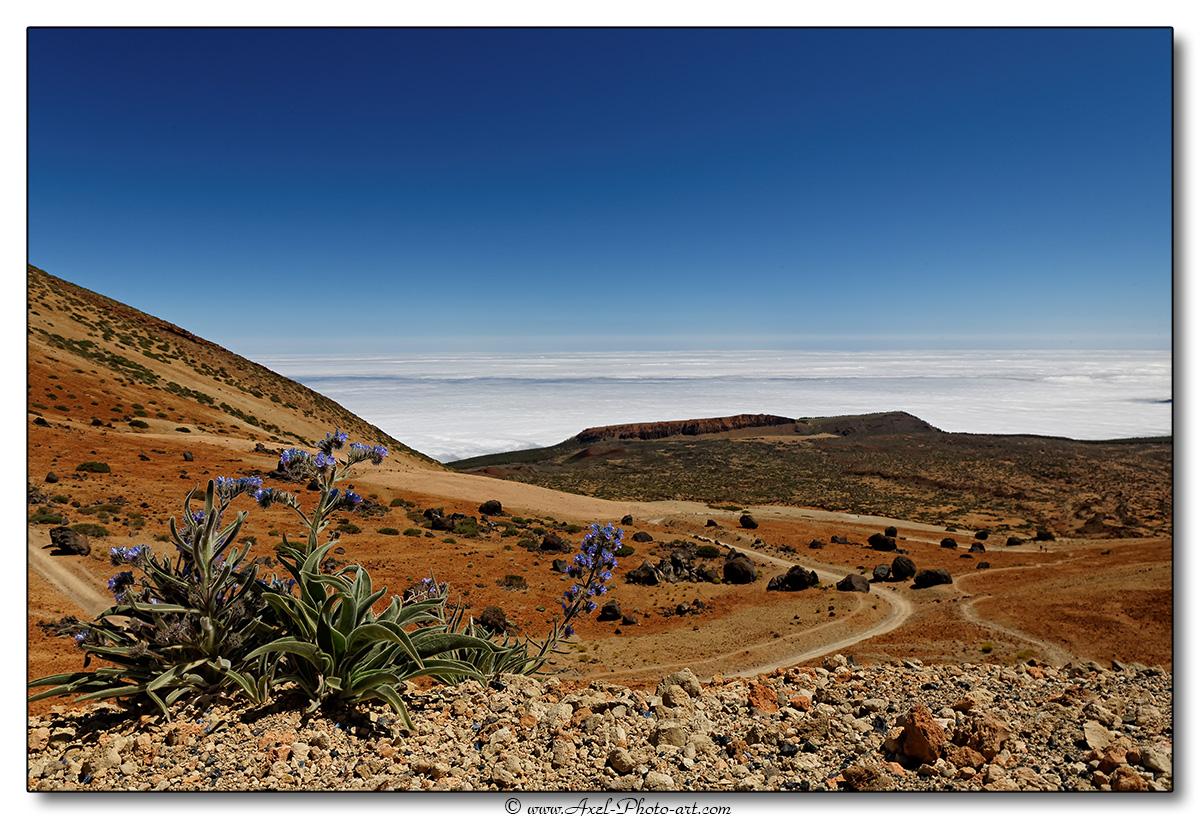 Fleur au pied du El Teide – Iles Canaries