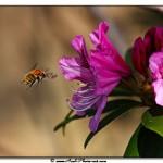 Bourdon et rhododendron