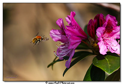 IMGL0228-bourdon-rhododendron-410