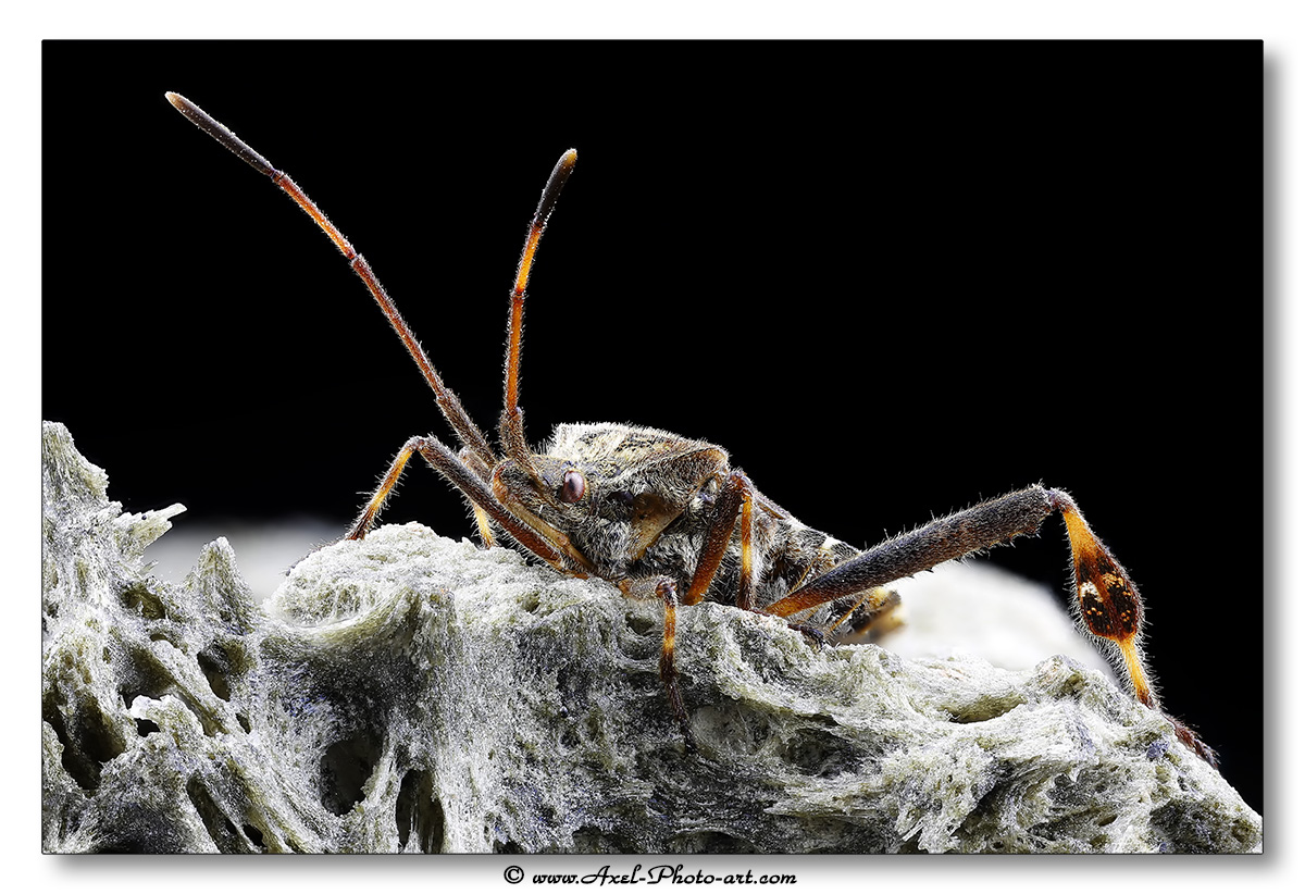 Punaise américaine du pin (Leptoglossus occidentalis)