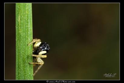 Araignée sauteuse sur brin d'herbe