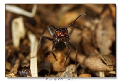 fourmi rouge 1 - 1024