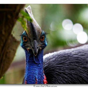 Casoar à casque - Indonésie