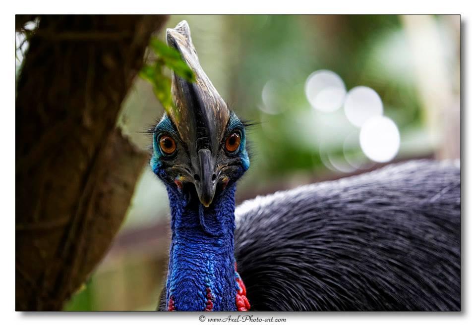 Casoar à casque – Indonésie