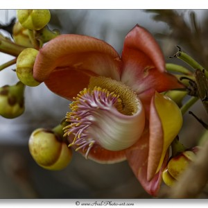 Fleur de Couroupita guianensis - Arbre Boulet de canon
