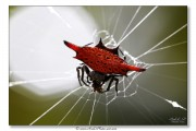 Araignée Gasteracantha - Bali - Indonésie