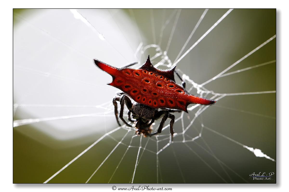 Araignée Gasteracantha – Bali – Indonésie