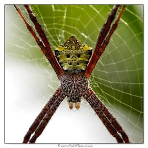 Araignée Argiope modesta - Indonésie