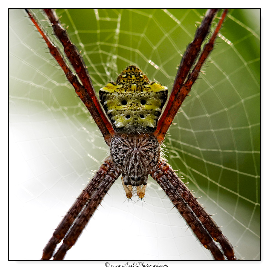 Araignée Argiope modesta – Indonésie