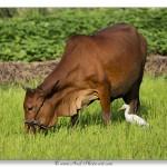 Héron garde-bœufs – Vietnam