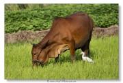 Héron garde-bœufs - Vietnam