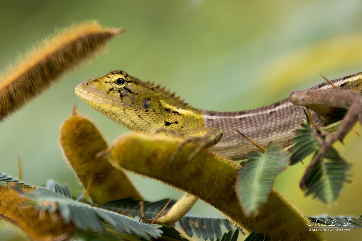 Dragon Arboricole (Physignathus cocincinus) – Vietnam