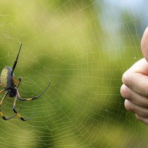 Araignée Bibe - Nephila Inaurata