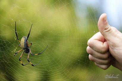 araignée bibe ile de la réunion