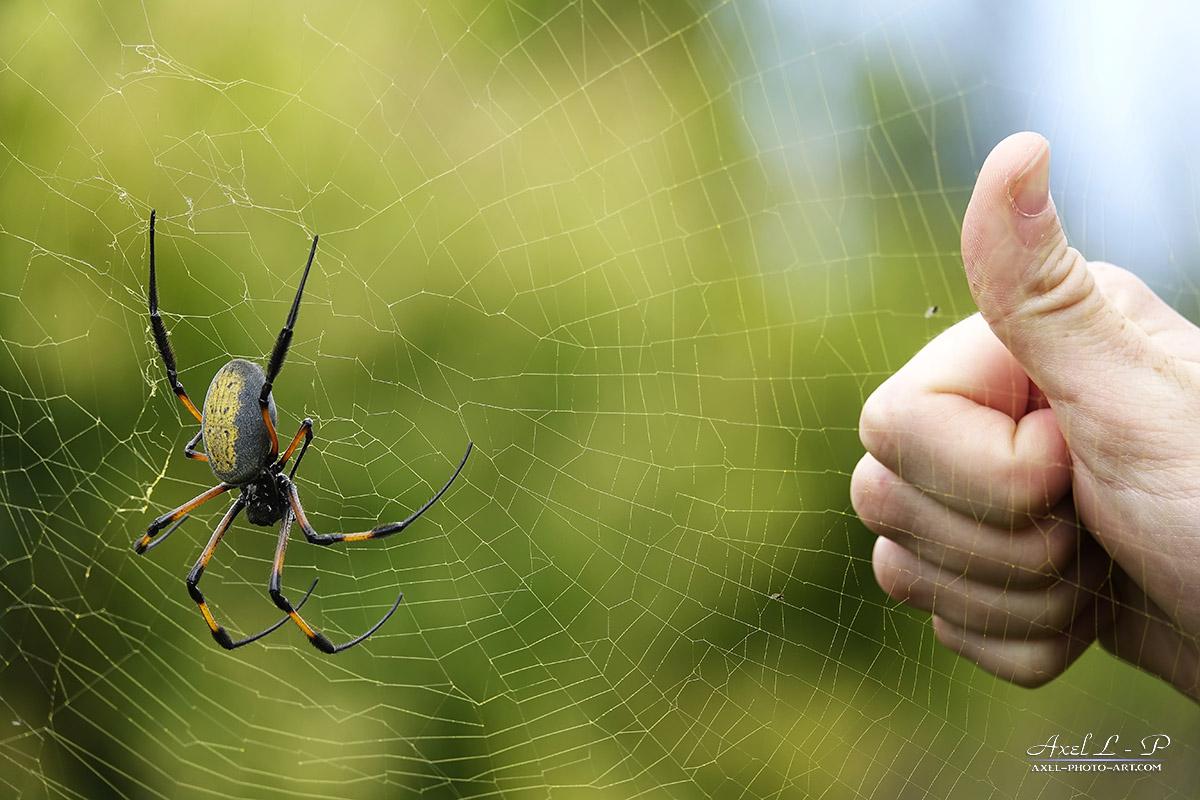 Araignée Bibe – Nephila Inaurata