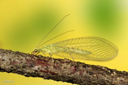 insecte chrysope