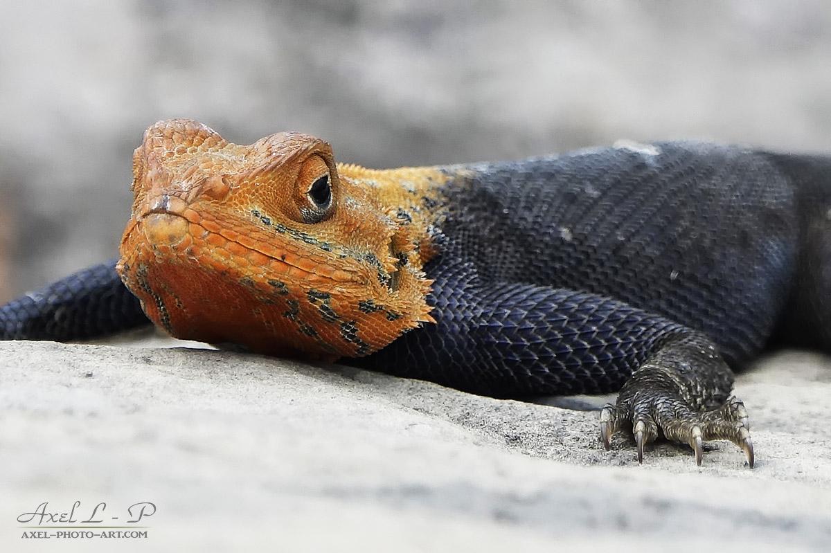 Ngouzi Mchangama : Un lézard de 40 centimètres menace les geckos endémiques