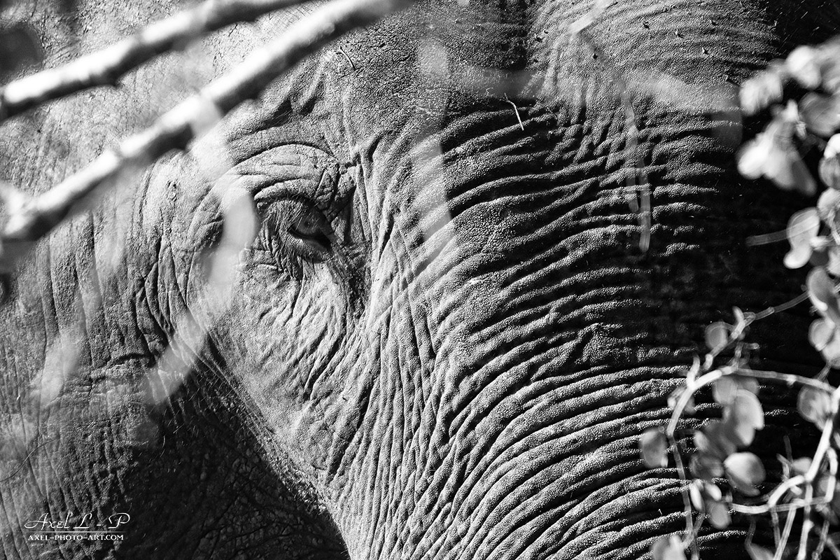 Portraits d'éléphants – Sri Lanka