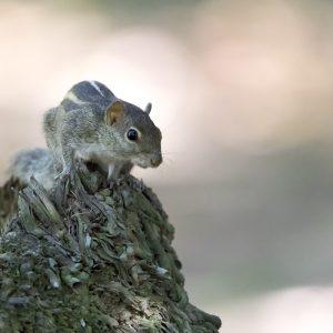 Ecureuil de palme - Sri Lanka