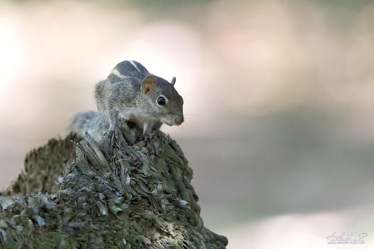 Ecureuil de palme – Sri Lanka