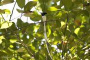 Tchitrec de paradis - Sri Lanka