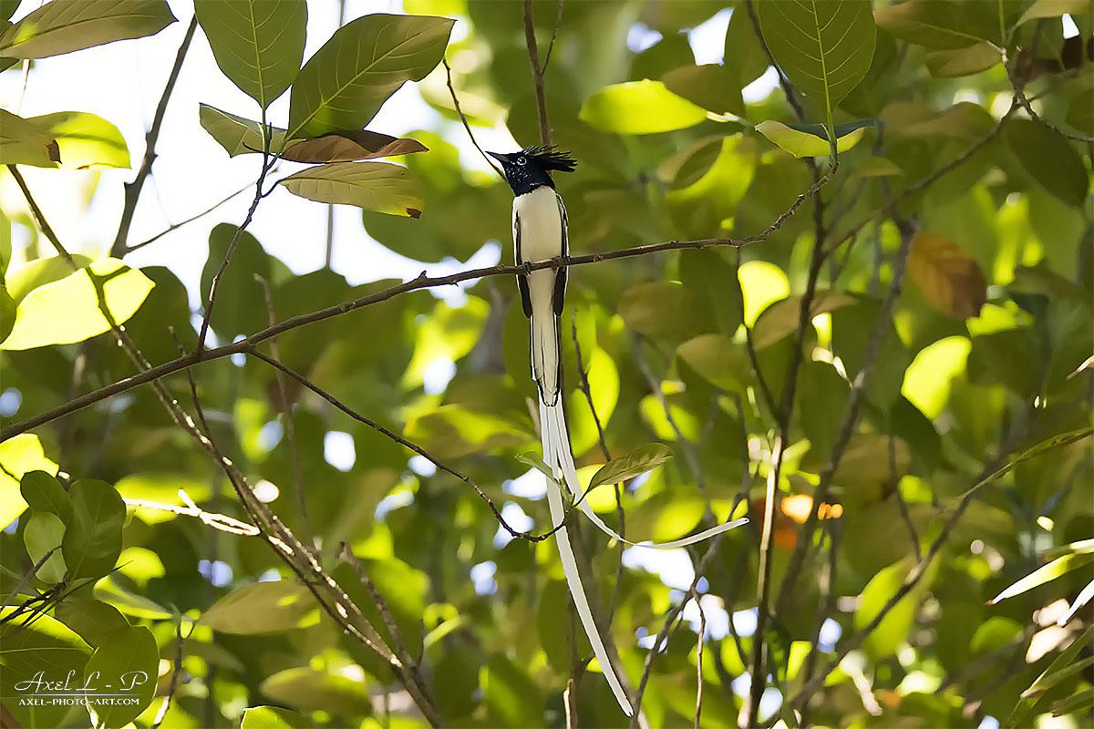 Tchitrec de paradis – Sri Lanka